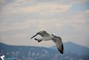 A gull (a_ali1993) Tags: gull طير a نورس النورس طائرالنورس