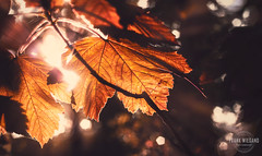 The Structure of Autumn Leaves (Frank Wiegand Photography) Tags: autumn color berlin fall leaves forest canon eos ast bokeh herbst landschaft wald grunewald farben 2015 leav 550d