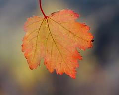 Douglas maple,  Acer glabrum, leaf (jlcummins - Washington State) Tags: tree leaf washingtonstate yakimacounty oakcreekwildlifearea douglasmaple acerglabrum waterworkscanyon