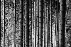 (lotl.axo) Tags: trees blackandwhite bw plants nature monochrome forest germany landscape deutschland thüringen woods natur pflanzen sw landschaft wald bäume strukturen thüringerwald schwarzweis talsperretambachdietharz