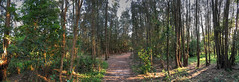 wetlands WW sydney panorama iphone 6s Plus IMG_7505_tonemapped (neilfif11) Tags: trees panorama sydney wetlands casuarinas warriewood iphone6splus