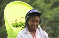 Teepflückerin / Tea picker (leaving-the-moon) Tags: portrait people woman yellow gelb oldwoman srilanka tee alltag womenatwork teapicker landundleute teepflückerin