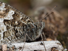 grayling butterfly-2 (Neil Phillips) Tags: butterfly insect hexapod grayling insecta nymphalidae hipparchiasemele brushfootedbutterfly