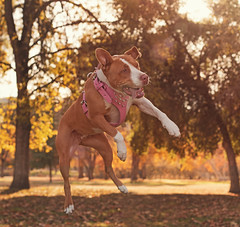 I Believe I can Fly (Cruzin Canines Photography) Tags: park autumn trees dog pet pets playing cute fall dogs nature girl smile grass animal animals female canon outside outdoors daylight jump funny warm action naturallight canine pit pitbull domestic roxy bakersfield goldenhour califorina americanpitbullterrier hartpark domesticanimal pitbullterrier 5ds canon5ds canoneos5ds