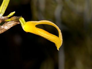 Zootrophion dayanum xanthina