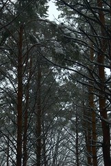 Heavy Snow (melleus) Tags: park trees winter white snow cold nature pine outdoors grey freeze d200 imagemagick dcraw