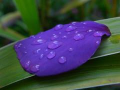 Raindrops on the petal of Melastoma (firebird39) Tags: flower macro rain purple violet petal   ricoh raindrop autumun  tibouchinaurvilleana  cx1 melastoma  brazilianspiderflower
