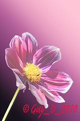 Dahlia (Guy_D_2010) Tags: flower nikon flor blumen blomma quintaflower bunga  fiore blomst gul virg hoa bloem lill blm iek kwiat blodyn   lule kukka d90   cvijet  blth cvet  zieds  gl kvtina kvetina floare  chaumontsurloire languageofflowers   fjura   nikoniste pixelistes nikonfrance flowersarefabulous nikonflickraward  voninkazo