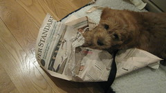 chester-reading--the-paper--what-a-smart-boy--hes-one-of-molly-and-chewys-boys_4587016019_o
