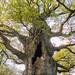 nonington-oak1