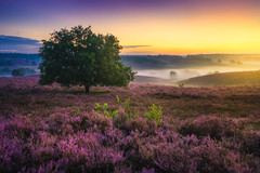 Tree of Dreams (albert dros) Tags: travel sunset tree tourism netherlands dutch sunrise purple heather nederland heath posbank rhenen heide albertdros