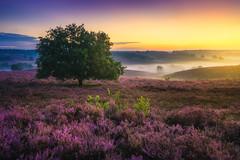 Tree of Dreams (albert dros) Tags: travel sunset tree tourism netherlands dutch sunrise purple heather nederland heath posbank rhenen heide albertdros