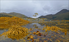 Roshven (McRusty) Tags: roshven west coast loch ailort sea scape birch tree island weed seaweed bright yellow mountains landscape beautiful outdoor natural beauty scotland reflection