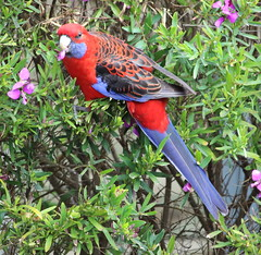 Crimson Rosella (dietrich.roger) Tags: rosella crimson bird australia pretty parrot victoria