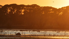 Swan and Swallow (blachswan) Tags: wetland wetlands mullahwallahwetlands winterswamp water sunrise swan blackswan cygnusatratus nest cumbungi swallow welcomeswallow