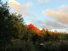 Treeline Catching Fire (genesee_metcalfs) Tags: autumn fall october michigan trees maple leaves color nature sky clouds beauty