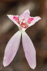 A peloric Caladenia (Tindo2) Tags: caladenia peloria peloric deformed malformed sthelens tasmania orchid