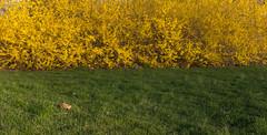 In remembrance of spring (Blake Bolinger) Tags: forsythia crosswicks nj newjersey mercercounty