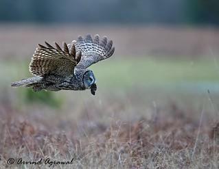 Great Grey Owl - IMG_0430-1