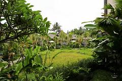 Paddy fields view (A. Wee) Tags: sankara resort hotel  ubud bali  indonesia