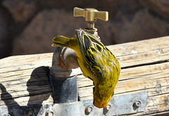 Looking for a drink. (pstone646) Tags: bird weaver tap water nature animal wildlife fauna africa namibia closeup drink sunshine hot
