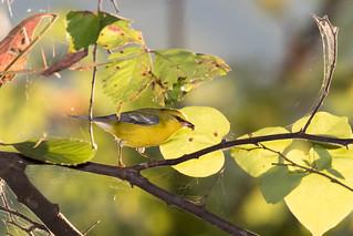 Blue-winged Warbler (Vermivora cyanoptera), Radnor Lake, Nashville, Tennessee