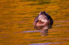 Sleepy Afternoon (robinlamb1) Tags: bird duck animal nature mallard hen outdoor brydonlagoon langley aquaticbird bc goldenwater
