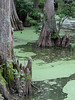 Indianola - Cypress Feet in the Water (Drriss & Marrionn) Tags: bluestrail2014 indianola mississippi usa outdoor nature tree trees cypress cypresstrees bayou water landscape creek plant plants