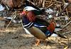 Mandari01 (Albert Ferré (Artbel )) Tags: anec duck pato canard mandarí mandarín mandarinaduck anecmandarí patomandarín pentaxk3 pentaxda55300 elcavet