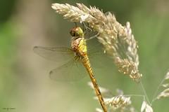 Libellule (jpto_55) Tags: insecte libellule macro bokeh xe1 fuji fujifilm fujixf55200mmf3548rlmois hautegaronne france