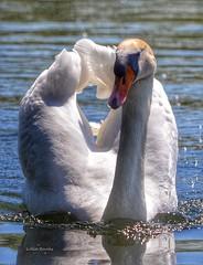Full steam (franbanks1 -( another day balder ) colin banks) Tags: franbanks wildlife nikon muteswan swans wildbirds birds nature