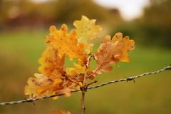 Autumn (azyef94) Tags: autumnleaves autumn herbst herbsbltter colorful nikonphotography photography nature naturephotography colorsoftheworld nikondsrluser naturenerds natureshots flickrnature nikonflickraward