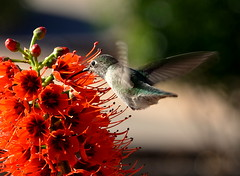 Sweet Nectar (Eleu Tabares) Tags: flower plant hummingbird bird animal wild wildlife