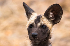 Only 300 Hundred left in Kruger National Park (Willievs) Tags: lycaonpictus africanwilddog puppy wildlife