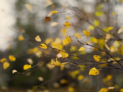 Autumn mood (moniverse) Tags: autumnleaves leaf 50mmf14 autumn fall leaves yellow dof bokeh trees golden light season nature branches october canon7d outdoor depthoffield flickrfriday