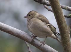 29 10 2016 (cathyk31) Tags: commonchaffinch fringillacoelebs fringillids passriformes pinsondesarbres bird oiseau fringillids passriformes