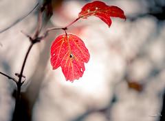 Still here...殘留 (T.ye) Tags: leaf leaves light lighting bokeh plant branch contrast 葉子 殘留 todd ye