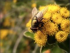 Beauty and the B...eauty!;-P (Tölgyesi Kata) Tags: légy fly ajaniapacificasilverandgold rovar insect autumn ősz yellowflower budaiarborétum withcanonpowershota620 garden budapest ajaniapacifica asteraceae