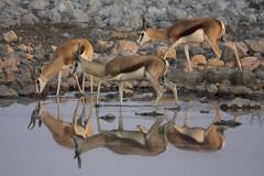 Springbock - Etosha - Namibia (wietsej) Tags: springbock etosha namibia sony rx10m3 rx10 iii wietse jongsma