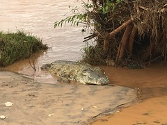 Galana River with Crocodile