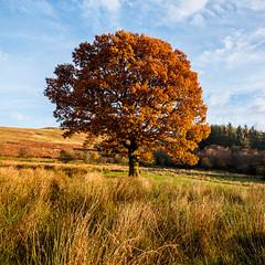 English Oak (Craig Hollis) Tags: tree hardwood english oak autumn golden hour warm sunlight square