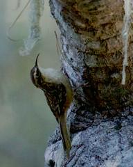 Brown Creeper (Tom Clifton) Tags: pointlobos birding