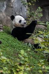 TOOTHPICK (Miles McNamee) Tags: zoo animal eating dczoo panda