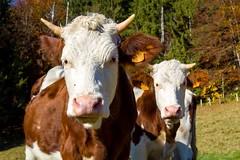 Portrait (Sébastien Locatelli) Tags: sébastienlocatelli 2016 canon eos 80d chartreuse massif savoie france kandscape autumn herbst automne cows vaches montbéliardes ef 1740mm l usm