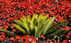 Rojo y verde (camus agp) Tags: cycas impatiens alegriadelacasa espaa jardin