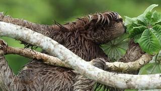 Three-toed Sloth Eating - Video