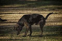 DSC_0119 (Harlum) Tags: boxer germanshepherd lab dogpark wolfhybrid husky malamute nikon nikond100 nikond5100 dogs