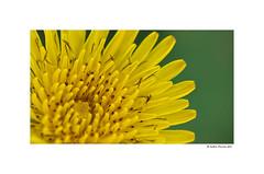 Obsession II (g.femenias) Tags: flower macro nature stems fontdenorenga petra mallorca saveearth