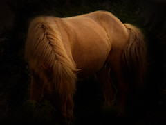 The beauty in its simplest form. (Freddy Juhl) Tags: nature equine wildhorse animals dyr field grass horse horses majestic mane mothernature outdoors photography ponies pony speed strength togethernes wildhorses wildlife