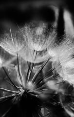Dandelion Sails Pt. 1 (Never Exceed Speed) Tags: bw closeup flora dandelion seeds macro yellowgoatsbeard goatsbeard